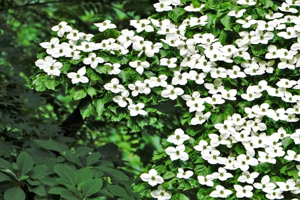 ヤマボウシの画像 p1_37