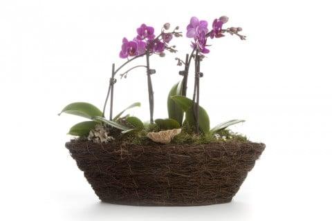 胡蝶蘭 鉢 植え替え