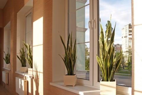 サンスベリア 室内 部屋  観葉植物