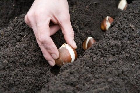 チューリップ 球根 土