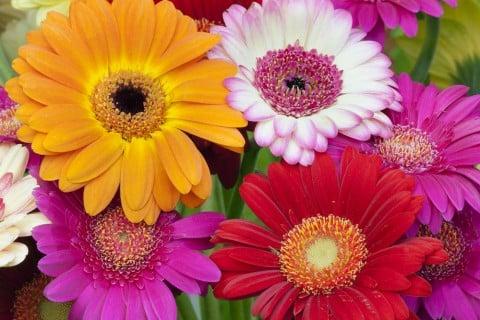 ガーベラ 花