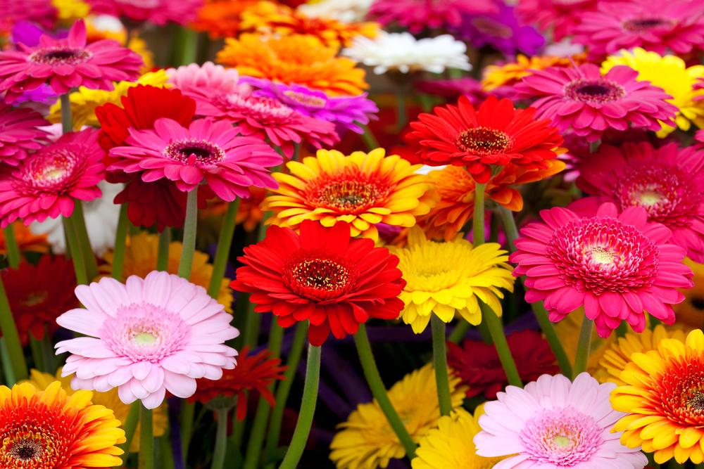 ガーベラの花言葉|種類や季節、ピンク・黄色など色別の花言葉 - HORTI 〜ホルティ〜 by GreenSnap