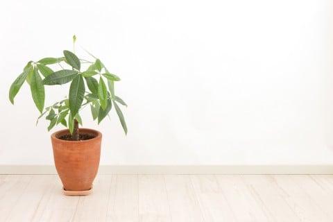 パキラ 室内 部屋  観葉植物
