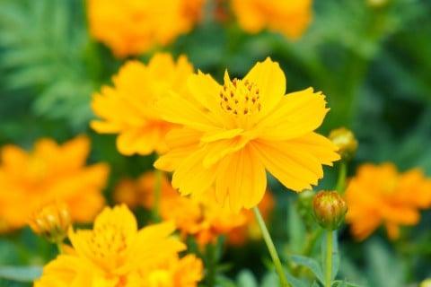 キバナコスモスの花言葉や育て方は?種まきの時期や方法は