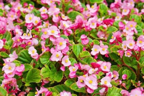 ベゴニア 花