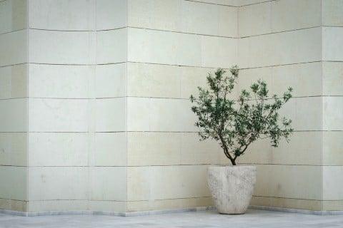 オリーブ 鉢 インテリア 室内 部屋