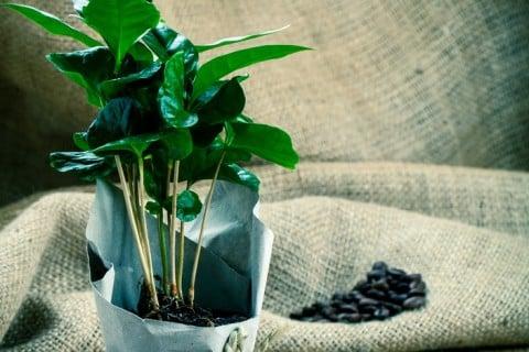 コーヒーの木 コーヒーノキ