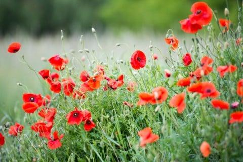 ポピーの花の色を楽しもう!