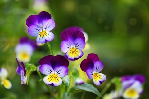 パンジー 紫 青