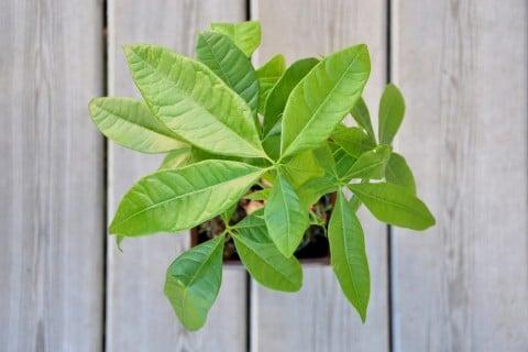 パキラ 剪定 観葉植物