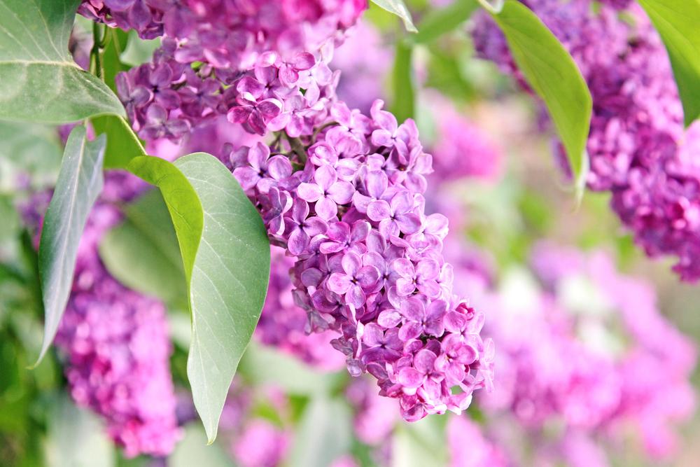 紫色のライラックの花の画像