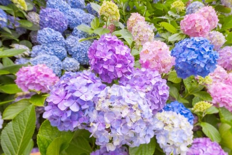 あじさい 紫 青 あじさい  アジサイ 紫陽花