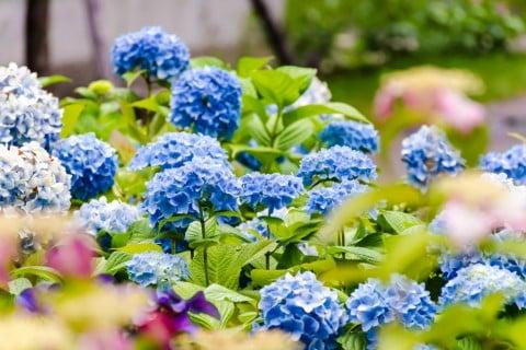 アジサイ 色々 あじさい  アジサイ 紫陽花