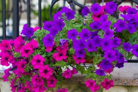 ペチュニア 青 ピンク 花壇