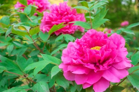 牡丹 ピンク