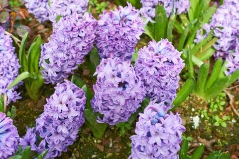 ヒヤシンス 紫色