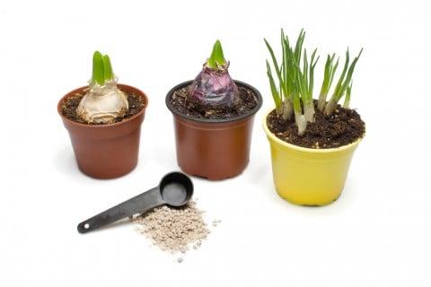 ヒヤシンス 鉢植え
