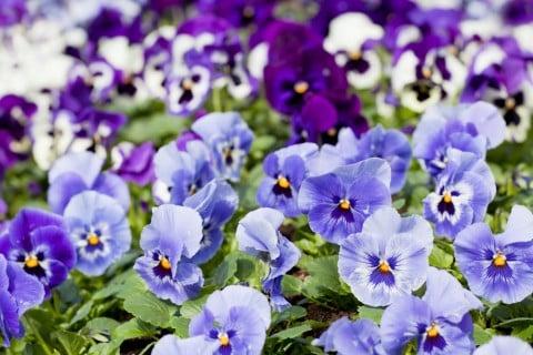 ビオラ 青 紫 寄せ植え