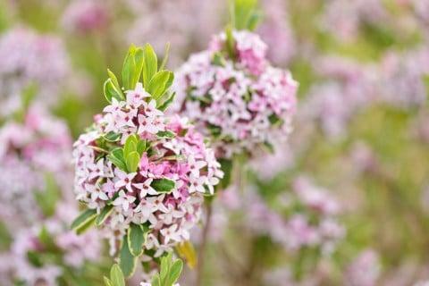 ジンチョウゲ 花