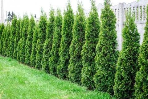 庭 ガーデニング 常緑樹