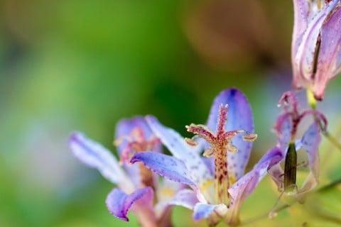 ホトトギスの花言葉|花の色や種類、見頃の季節は? - HORTI ...