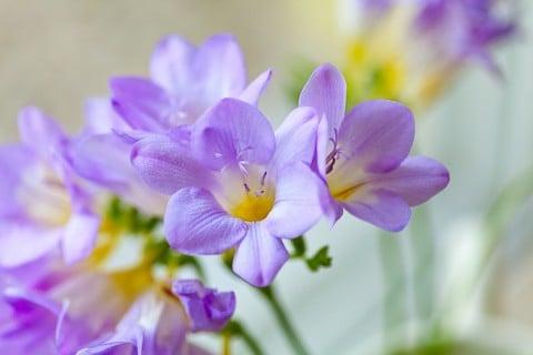 フリージア 紫