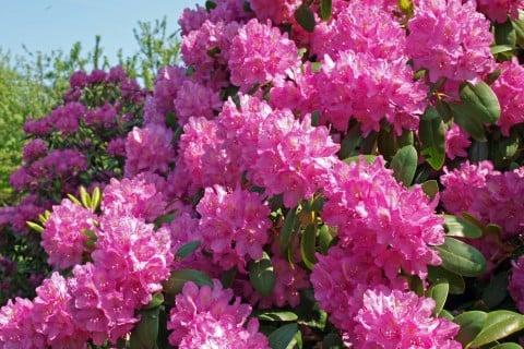 シャクナゲ ピンク 植木