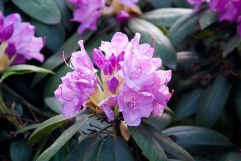 シャクナゲ 花 満開