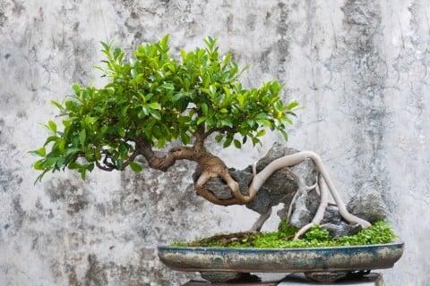 ガジュマル 盆栽