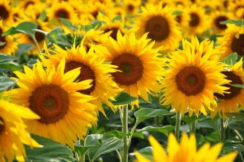 ひまわり 花 いっぱい