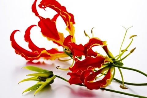 グロリオサ 花