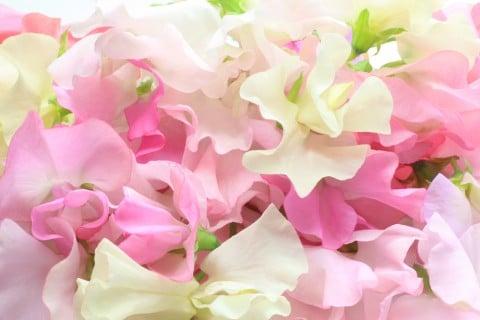 スイートピー 花 言葉 スイートピーの花言葉!赤・白・紫など色別で17の意味を紹介
