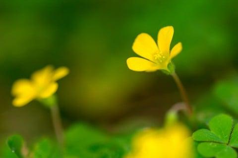 カタバミ 花 黄色
