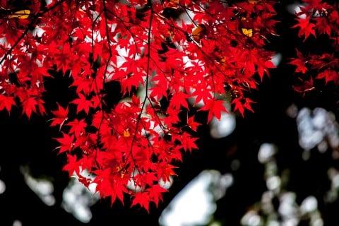紅葉 かえで もみじ 剪定 秋