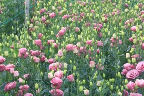 トルコキキョウ 地植え ピンク