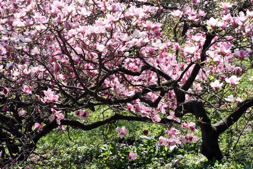 モクレン(マグノリア) 花 ピンク