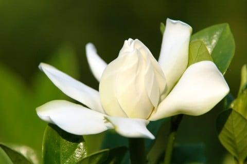 クチナシの花言葉 花の香りや種類 季節は 別名はガーデニア Horti ホルティ By Greensnap