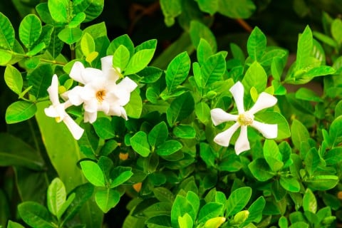 クチナシ 花 植木