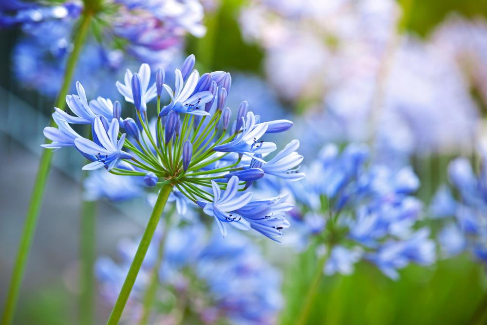 アガパンサス(紫君子蘭)の花言葉!種類や品種、見頃の季節は