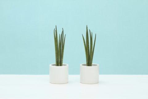 サンスベリア サンセベリア 観葉植物
