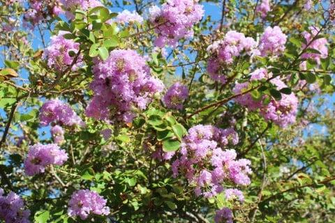 サルスベリ ピンク 花