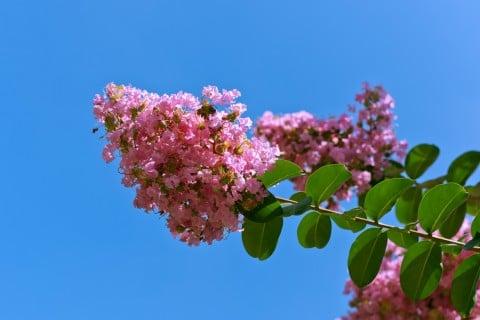サルスベリ 花 枝