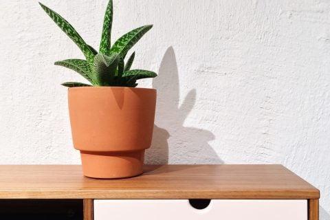 サンスベリア 観葉植物 多肉植物