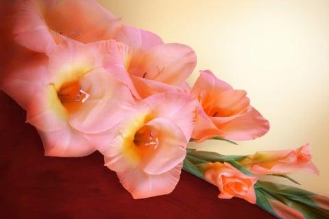 グラジオラス 切り花