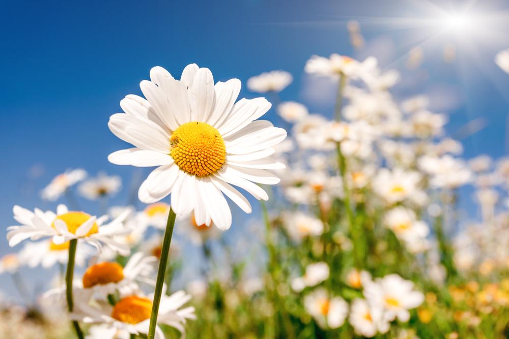 デイジー 花