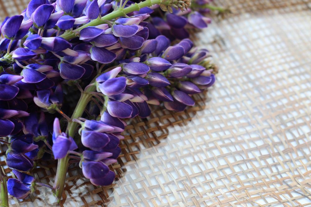 ルピナスの花を切り取った画像