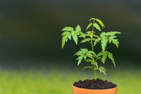 ニーム 鉢植え