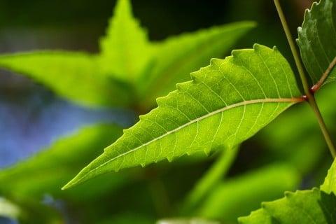 ニーム 地植え 葉