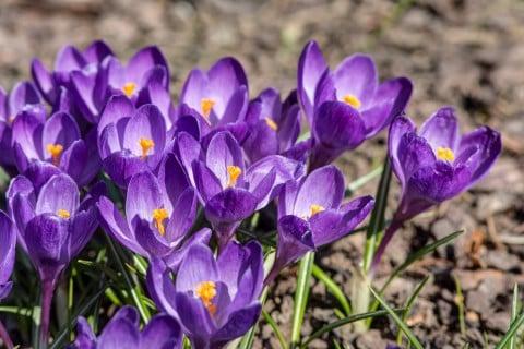 紫 クロッカス 庭