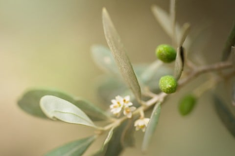 オリーブ 木 実